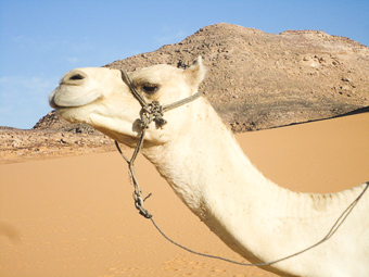 An Egyptian Camel